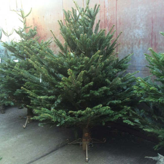 Christmas Tree for Delivery 5 Dec
